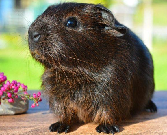 Guinea Pig (Gine Pig) Hakkında