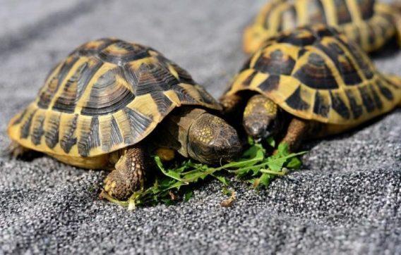 kara kaplumbağası bakımı ve beslenmesi