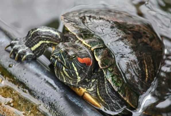 kızıl yanaklı su kaplumbağası