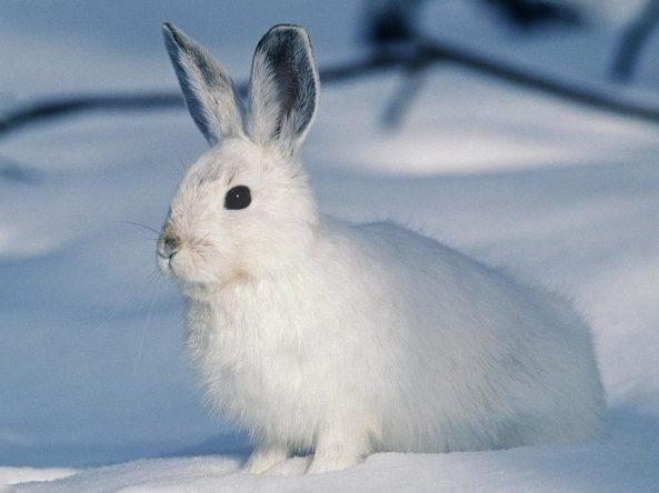tavşan cinsleri