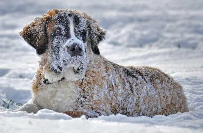 köpeklerin soğuğa dayanıklılığı var mı?