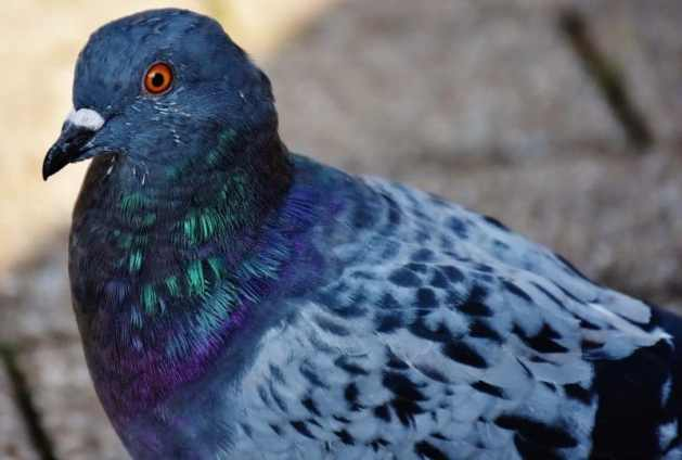 güvercinlerin yön bulma yeteneği