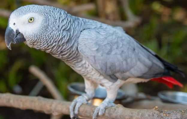 jako papağanı hakkında