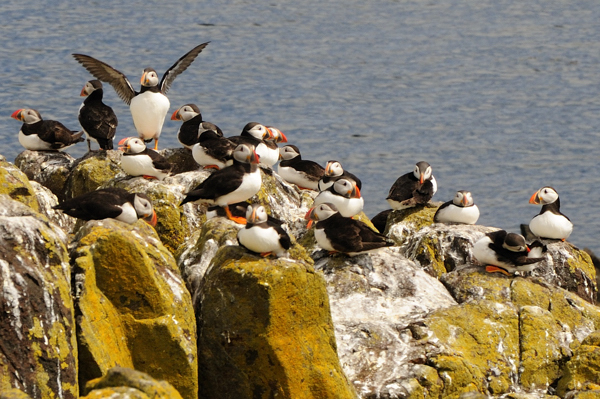 Puffins, Lady's Bed, Isle of May