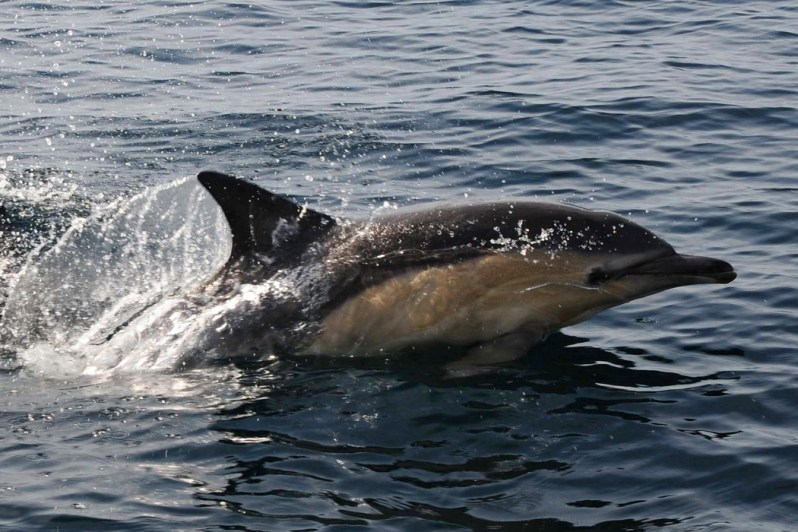 Dolphin, Sound of Sleat