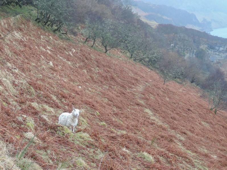 DSCN5357 Processed JPEG V2 Screen Re-Sized 1050 Sheep, Hallaig.jpg