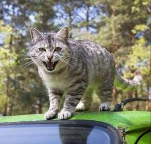 atakujący kot