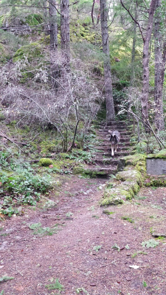 A large wolf-dog walks down some stairs that are set into the side of a wooded hill.