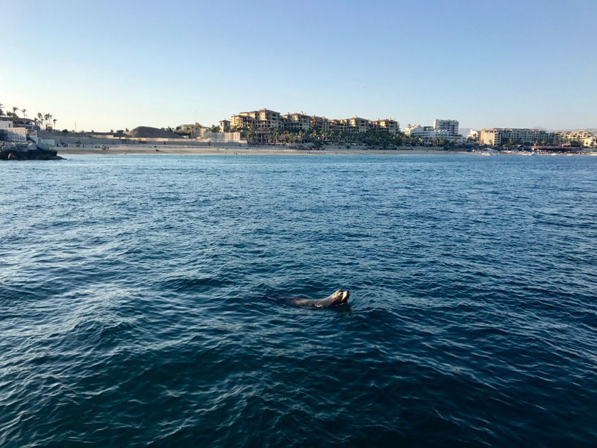 A seal swimming through the port of La Marina, in Los Cabos, Mexico.