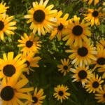 featured_Summer photo sunflower