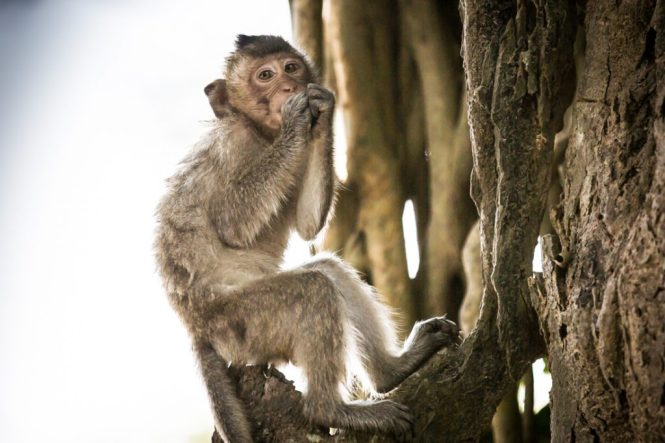Baby monkey for an Angkor Wat temple guide