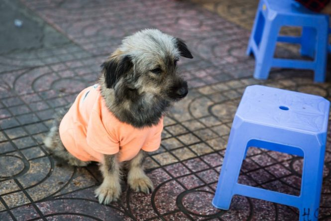 Puppy wearing orange t-shirt for article on Ho Chi Minh City street photos