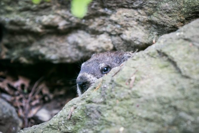 Woodchuck at a Fort Tryon Park engagement portrait