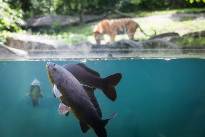 Fish and tiger for an article on Bronx Zoo photo tips
