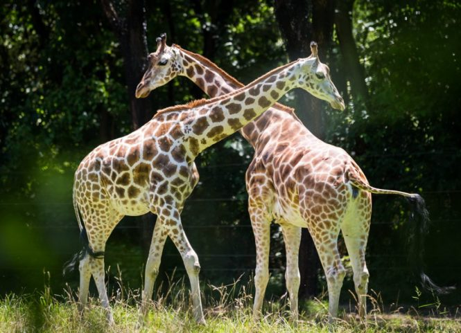 Two giraffes for an article on Bronx Zoo photo tips