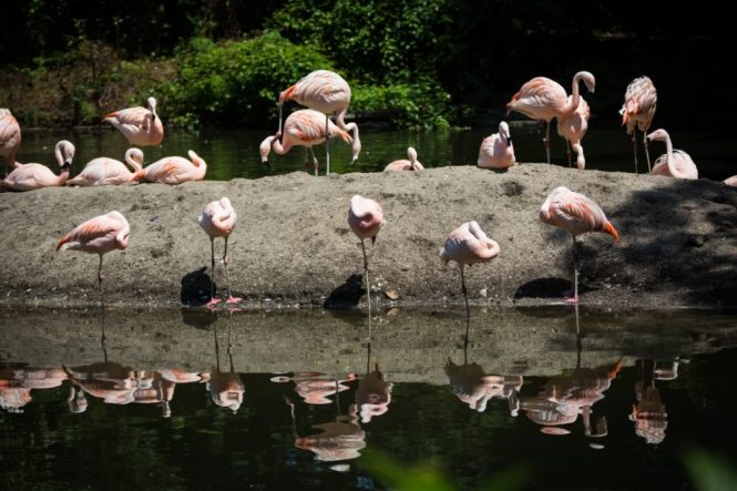 Flamingoes for an article on Bronx Zoo photo tips