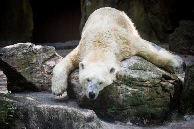 Polar bear for an article on Bronx Zoo photo tips