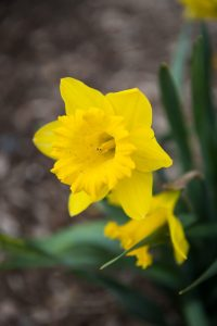 Daffodils in Queens