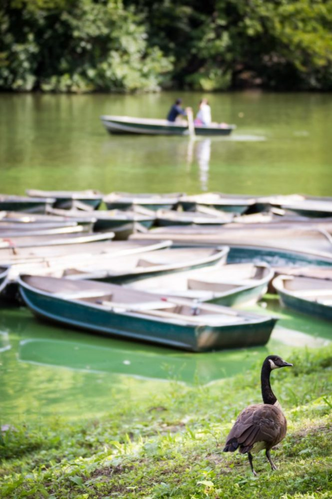 Rowboats and goose for an article on a Central Park lake proposal