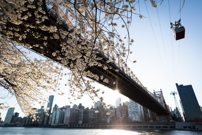 Roosevelt Island cherry blossoms for an article on cherry blossom photo tips