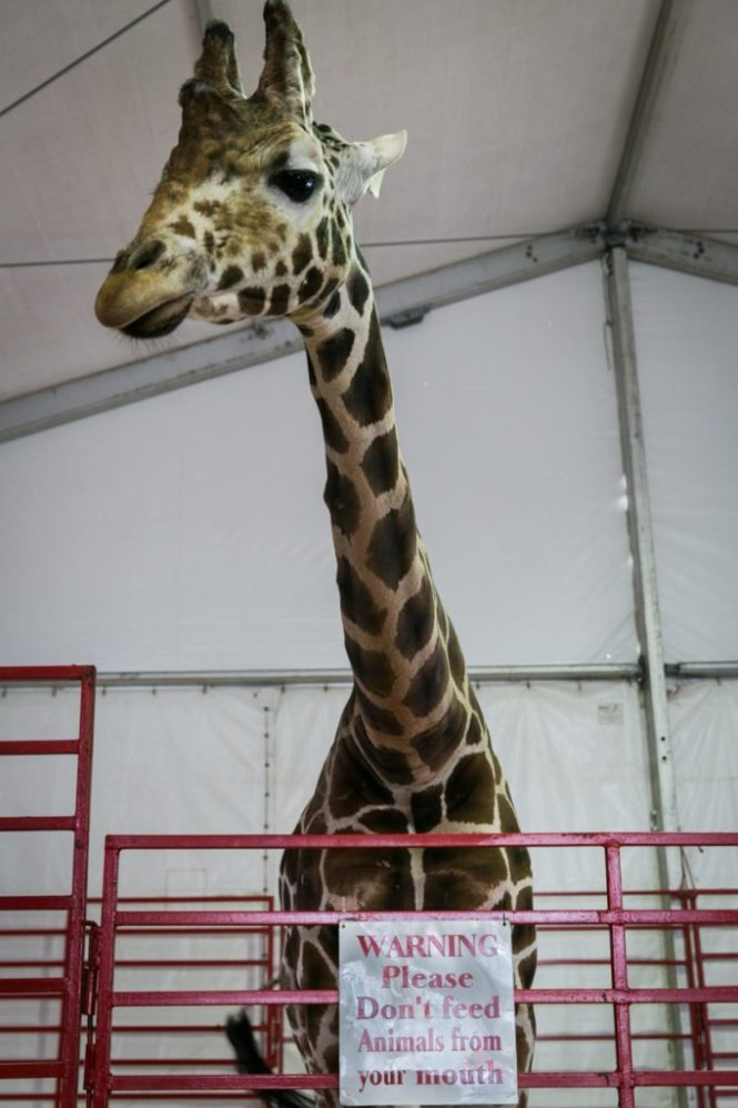 Twiggs the giraffe at the Florida State Fair, photographed by NYC photojournalist, Kelly Williams.