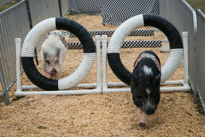 A pig obstacle course at the Florida State Fair, photographed by NYC photojournalist, Kelly Williams