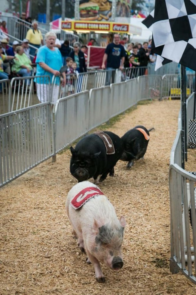 Pig racing at the Florida State Fair, photographed by NYC photojournalist, Kelly Williams