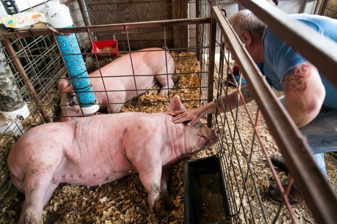 Livestock on display at the Pasco County Fair, by NYC photojournalist, Kelly Williams