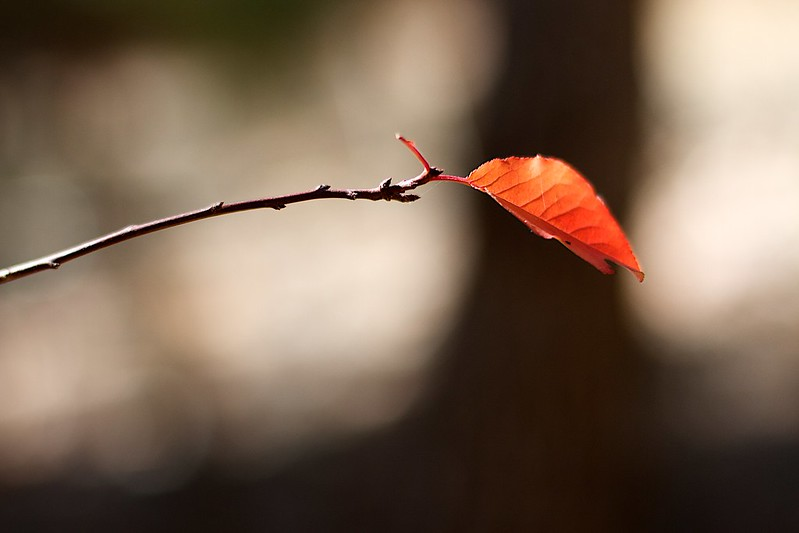 Photos of a lone leaf still attached at the end of a branch in fall.
