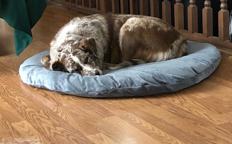 Felix the dog sleeping on a dog bed.