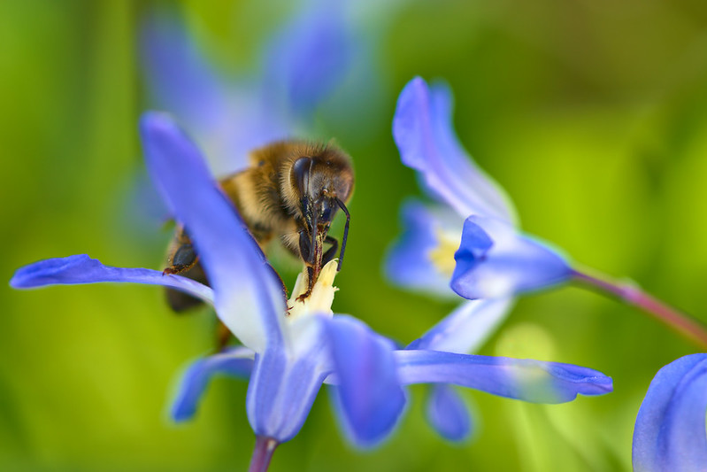 Macro shot of bee on a blue flower.