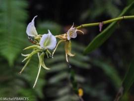 Encore une orchidée (la vanille ?)