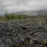 La végétation redémarre, au fond les coulées de lave descendant du Piton de la Fournaise
