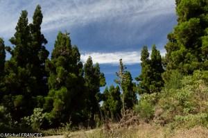 Une forêt de cryptomérias