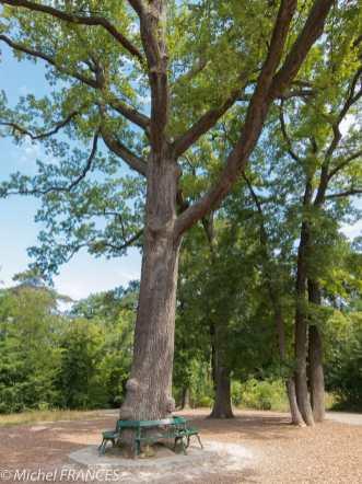 Est-ce le chêne de saint Louis ?