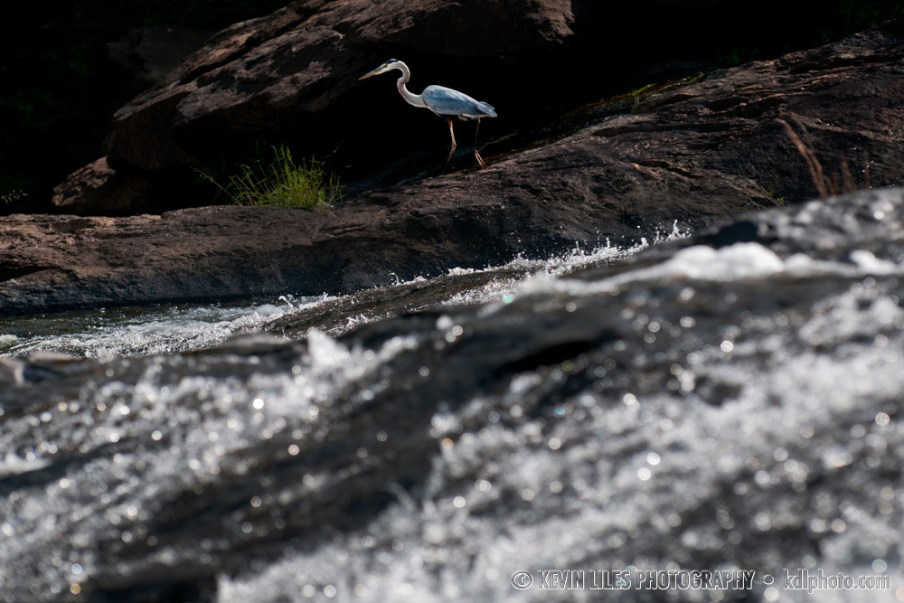 An egret at High Falls State Park, GA.