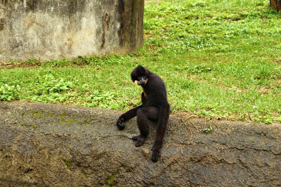 六福村非洲部落長臂猿金寶