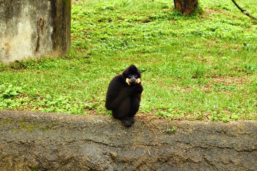 六福村動物園/非洲部落長臂猿金寶