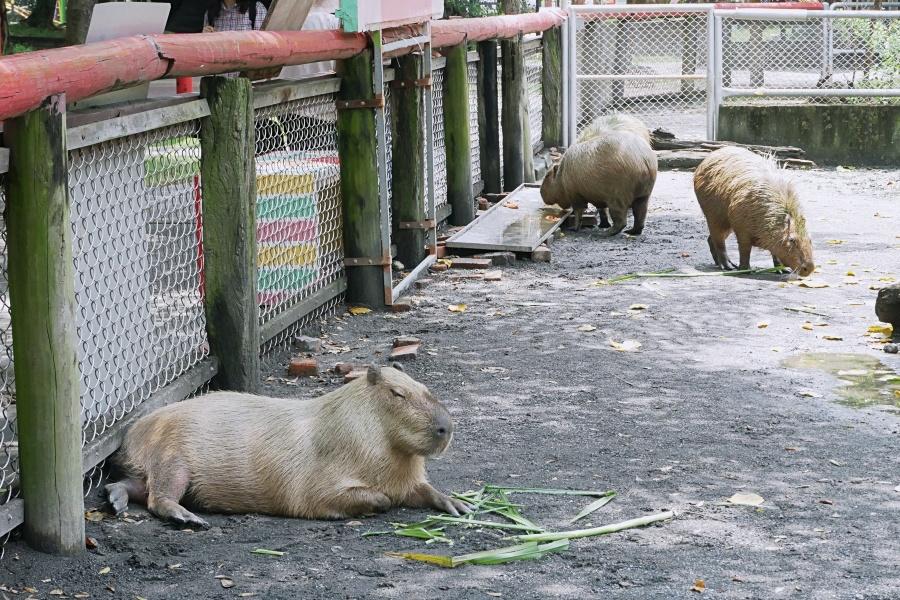 台南頑皮世界野生動物園:水豚