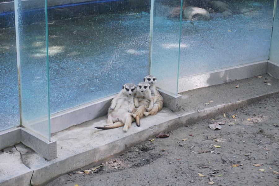 台南頑皮世界野生動物園:狐獴