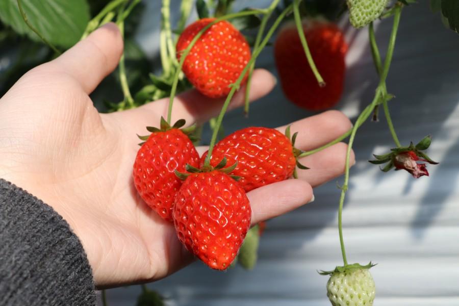 batch 石原農園採草莓 04