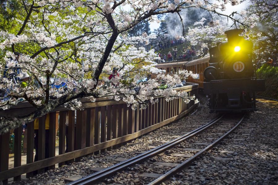 阿里山櫻花/阿里山景點/阿里山櫻花/阿里山火車
