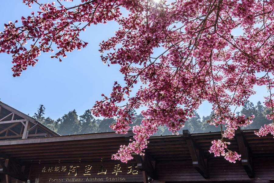 阿里山櫻花/阿里山賞櫻