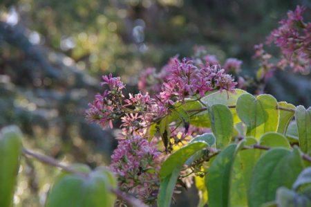 Heptacodium Miconioides im Herbst © Isabelle van Groeningen