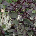Veronicastrum virginicum 'Album' mit Eupatorium 'Chocolate'
