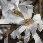Magnolia stellata flower © Isabelle van Groeningen