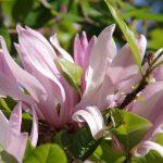 Magnolia lilliflora 'Ricky' © Isabelle van Groeningen