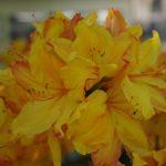 Rhododendron luteum 'Sunte Nectarine' © Isabelle van Groeningen