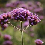 Verbena bonariensis © Isabelle van Groeningen