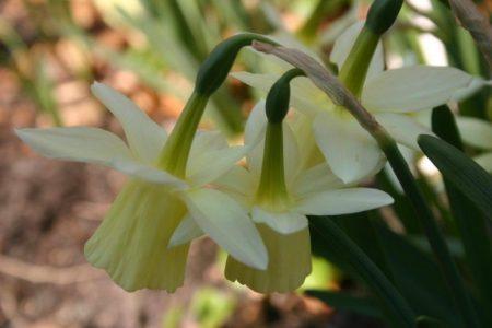 Narzissen - Narcissus 'Lemon Drop' © Isabelle van Groeningen